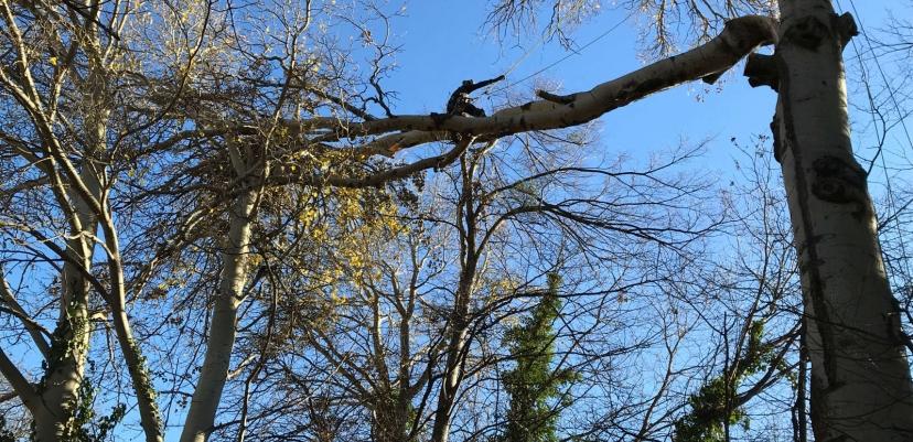 Une branche principale de 15 mètres de long, déchirée et coincée à près de 15 mètres de haut.