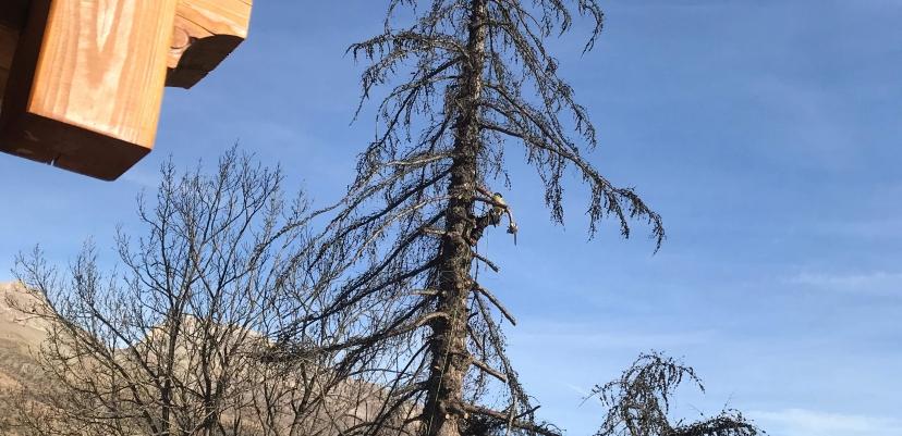 Abattage par démontage d'un vieux mélèze à Mônetier-les-Bains (05)