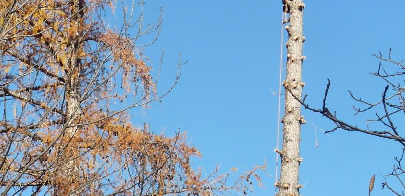 Deux grimpeurs se sont chargés du démontage des arbres.