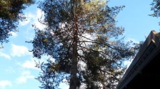 Avant élagage d'éclaircie d'un pin sylvestre - Les Alberts (05)