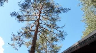 Élagage d'éclaircie d'un pin sylvestre - Les Alberts (05)