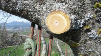 Une coupe propre pour la santé de l'arbre