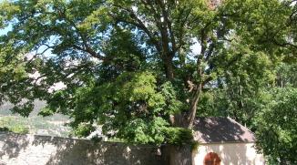 Taille d'allègement d'un tilleul - Briançon (05)